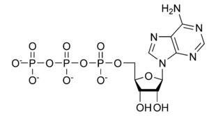 Desktop_300px-atp_chemical_structure