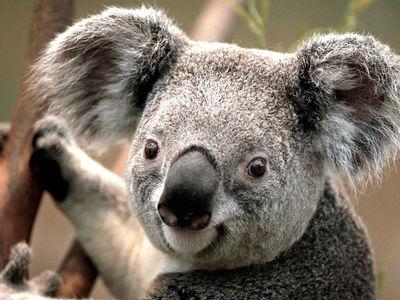 Desktop_koala
