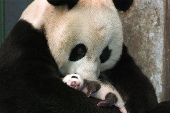 Desktop_panda