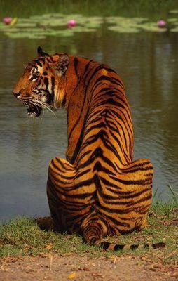 Desktop_tigre_de_bengala