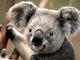 Thumb_koala
