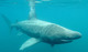 Thumb_basking-shark