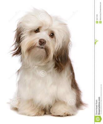 Desktop_perro-hermoso-de-havanese-del-chocolate-18317263