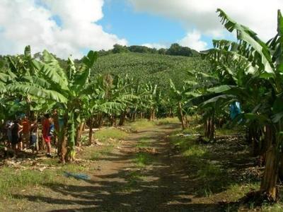 Plantacion-de-bananas
