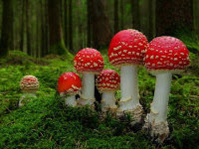 Desktop_mushrooms-amanita-22_1_