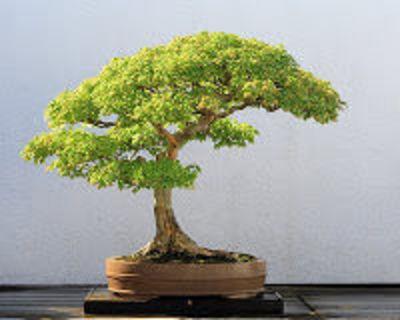 Desktop_bonsai-3_1_